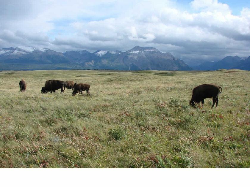 Bisons Alberta