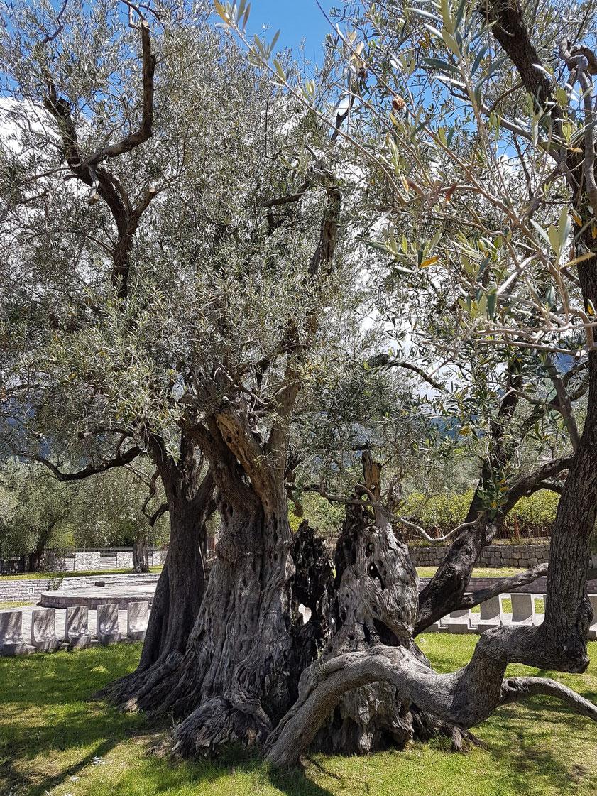 Ältester Olivenbaum Montenegros mit über 2000 Jahren bei Stari Bar