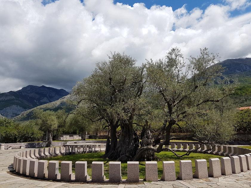 """Ältester Olivenbaum Montenegros """"Stara Maslina"""" in der Nähe von Stari Bar (bei Kilometer 5 an der Strecke von Bar nach Ulcinj)"""