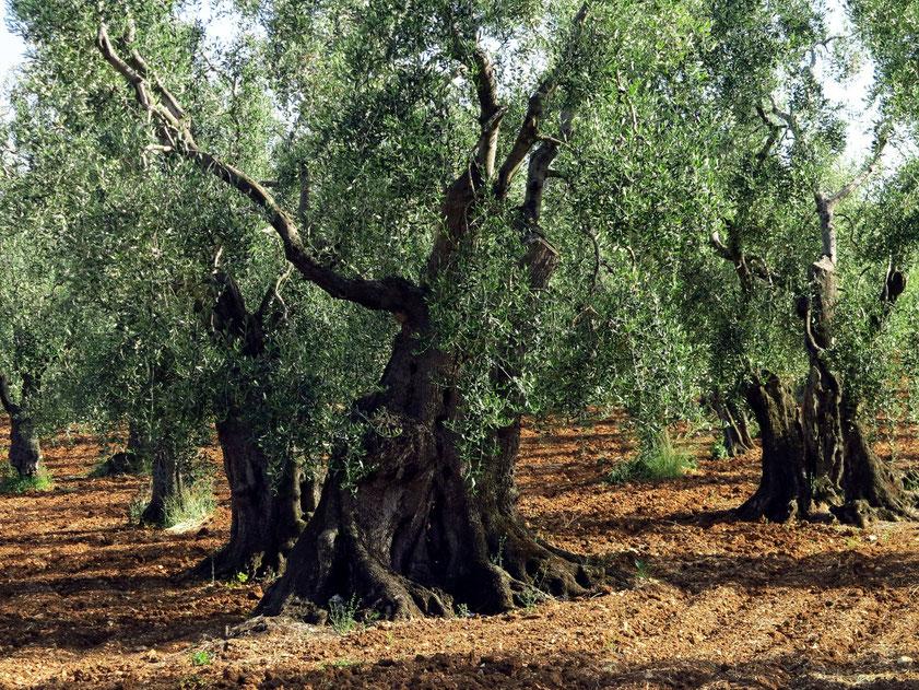 Alte Olivenhaine bei Vieste