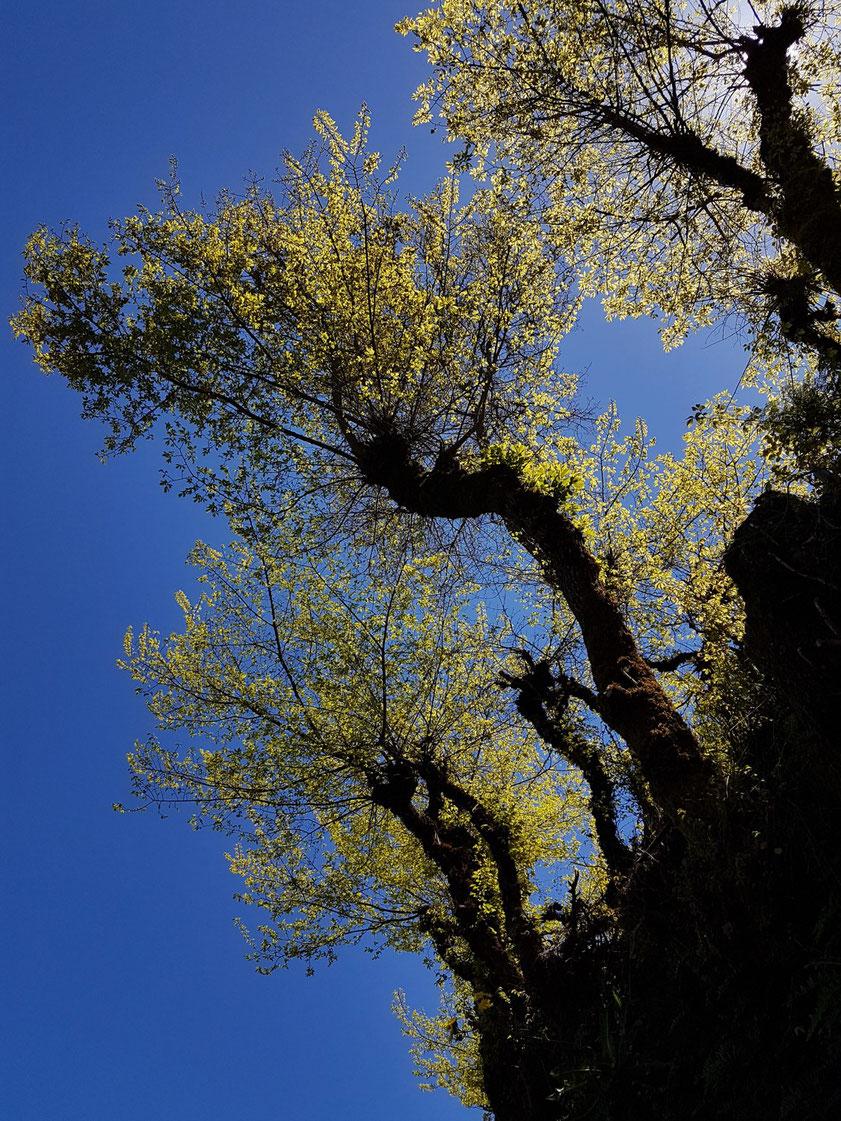 Frühling mit frischem Grün in den Bergen von Gran Canaria oberhalb von Valleseco