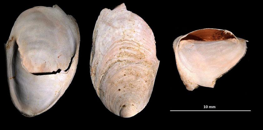 Crepidula unguiformis, Macchia della Turchina (Monteromano, VT)