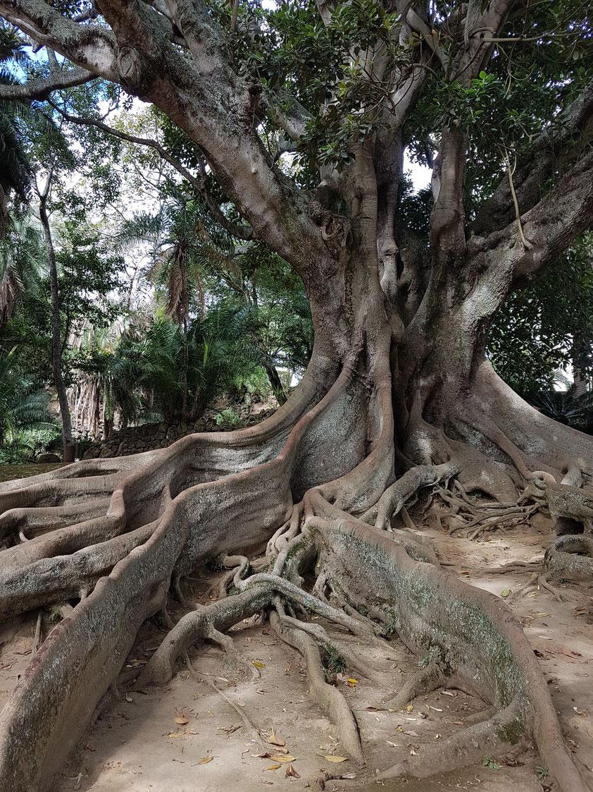 Großblättriger Feigenbaum (Ficus macrophylla), auch Australischer Gummibaum genannt