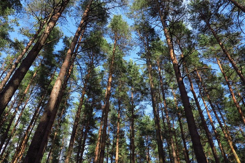 Kiefernwald in Jurmala bei Riga