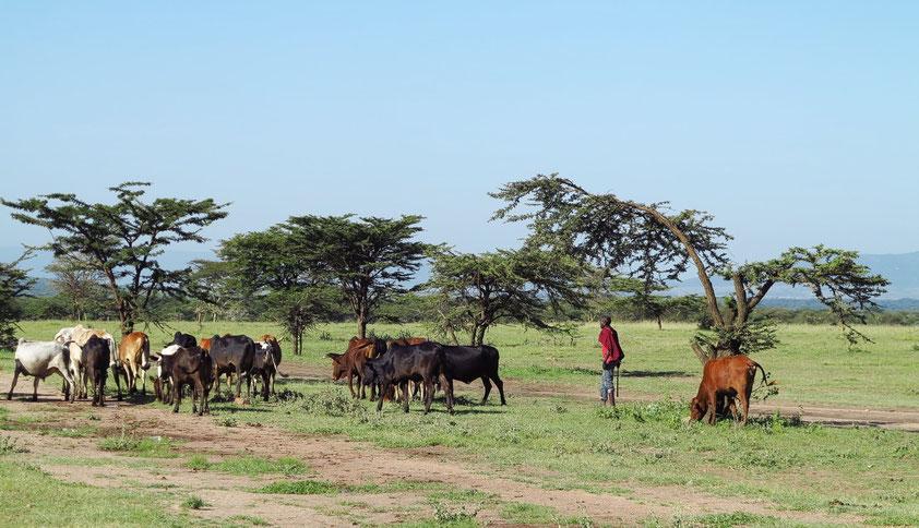 Rinderherde der Massai