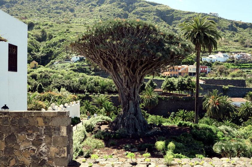 Der berühmte Drachenbaum in Icod de los Vinos