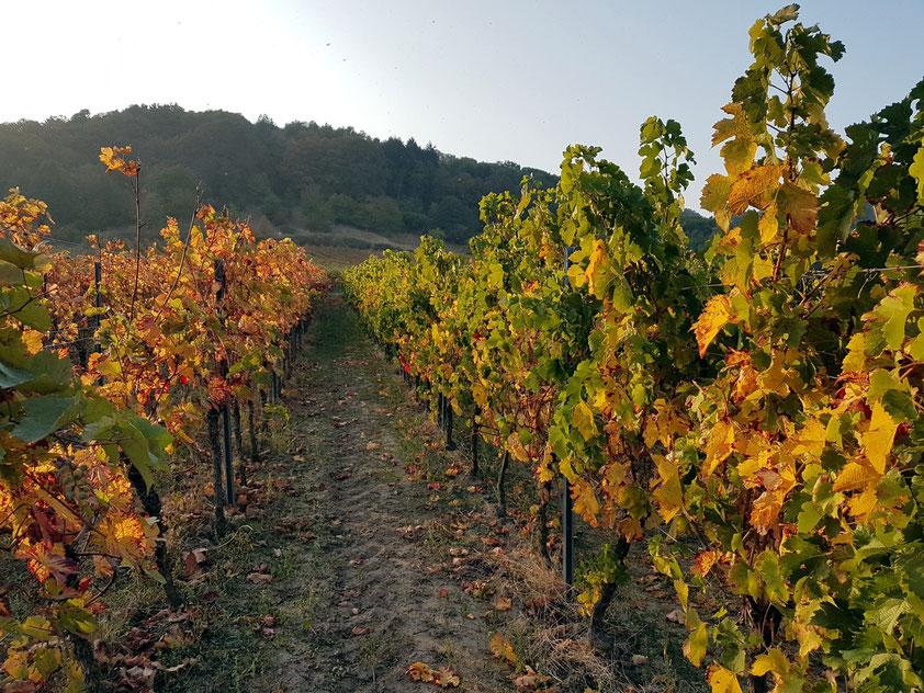 In den Weingärten von Sankt Martin