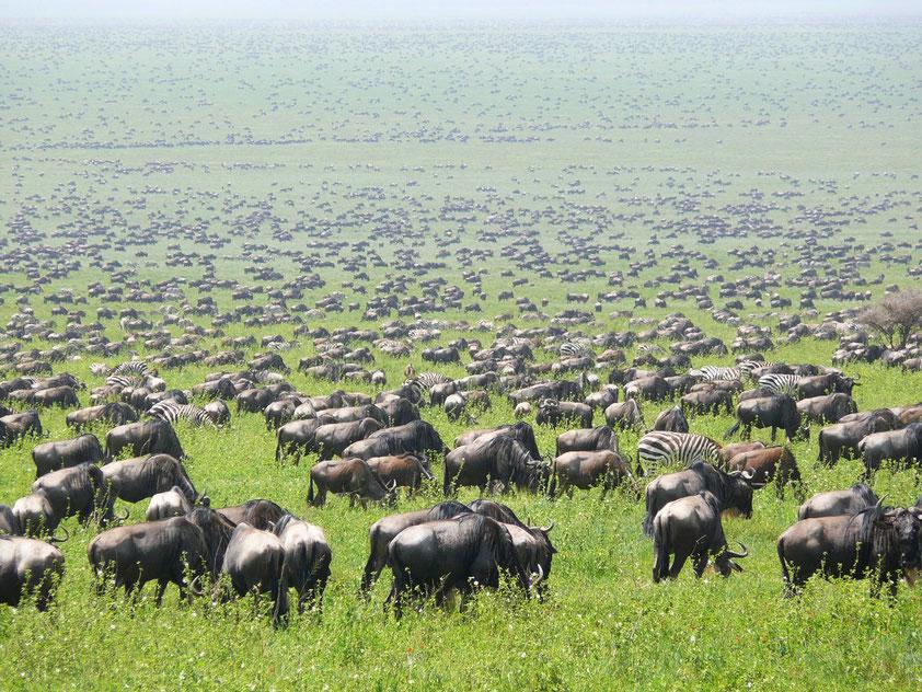 Herden von Gnus und Zebras auf ihrer Wanderung durch die Serengeti