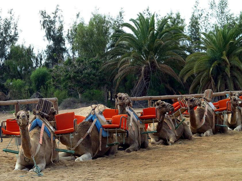 Oasis Park, Kamele warten auf Touristen