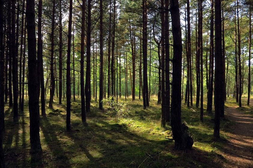 Nida/Kurische Nehrung. Kiefernwald zwischen Campingplatz und Meer