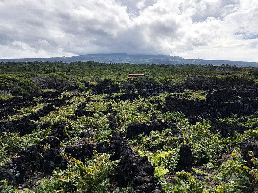 Küstennahe Zona das Adegas (UNESCO-Welterbe): Weinanbau und Lesesteinmauern. Im Hintergrund der wolkenverhangene Pico
