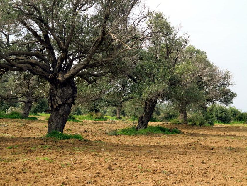 Olivenbaumhain auf der Halbinsel Karpas