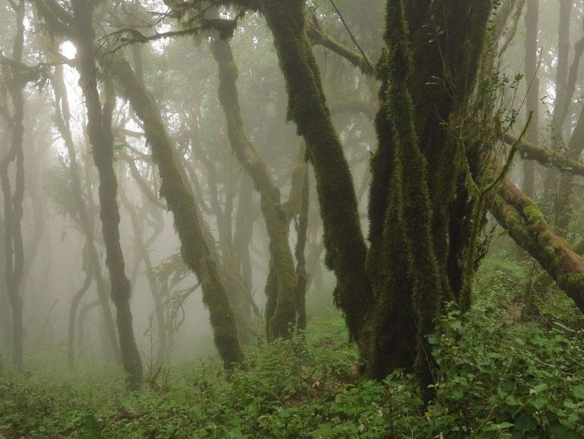 Lorbeerwald auf La Gomera im Nationalpark Garajonay in der Passatwolke (Aufnahme am Nachmittag, einige Stunden nach Aufnahme am Vormittag; siehe Foto oben)