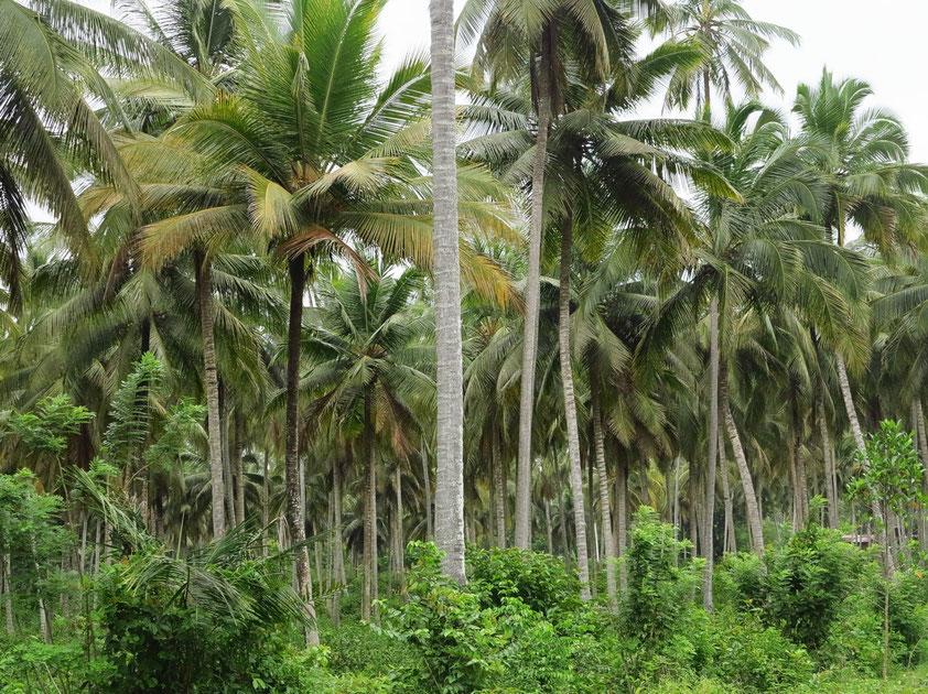 Kokospalmenwald auf Sansibar