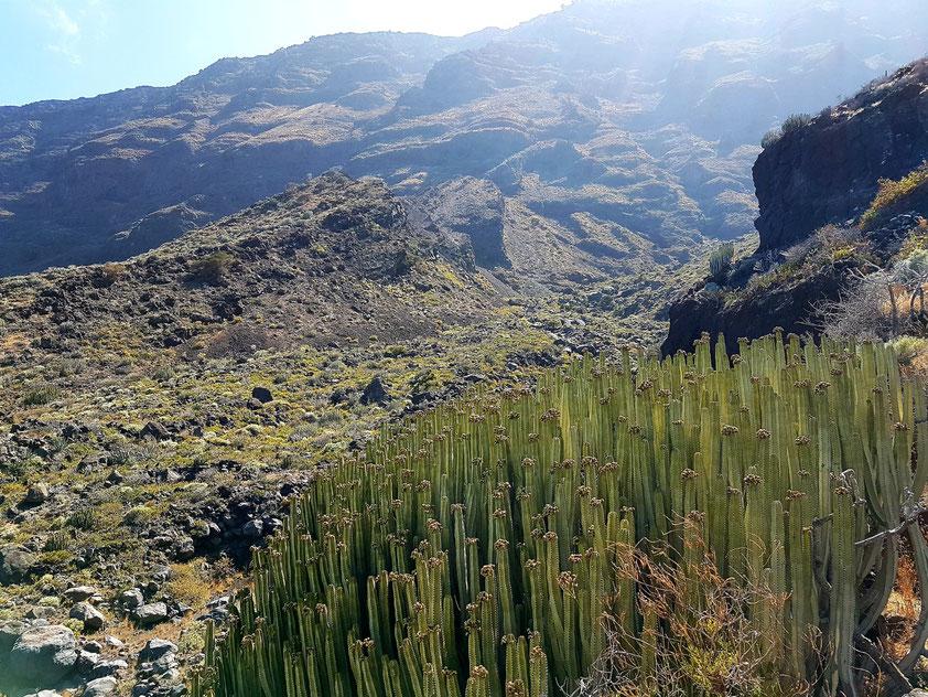 """Kanaren-Wolfsmilch (Euphorbia canariensis) (span. """"cardón""""), endemische Pflanze der Kanaren"""