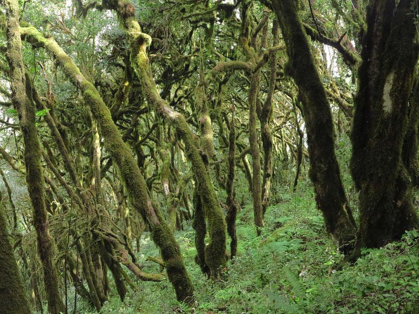 Lorbeerwald auf La Gomera im Nationalpark Garajonay, UNESCO-Welterbe
