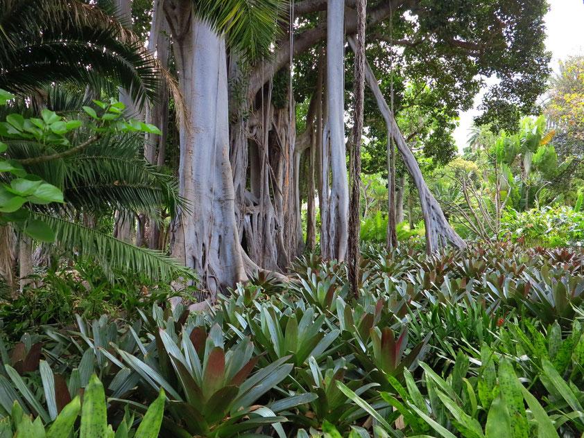 Würgefeige im Botanischen Garten