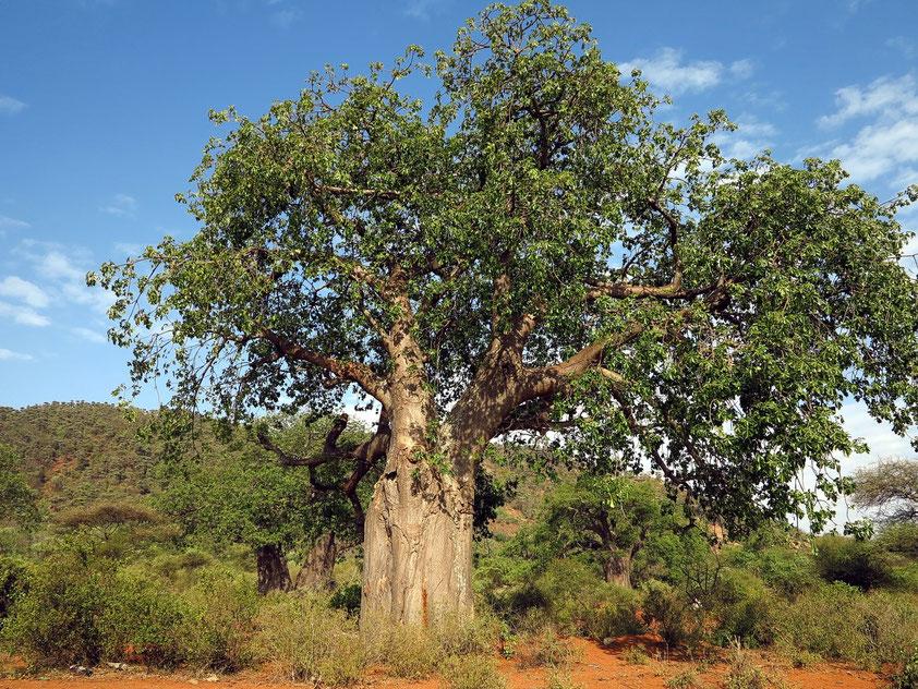 Afrikanischer Affenbrotbaum (Baobab)