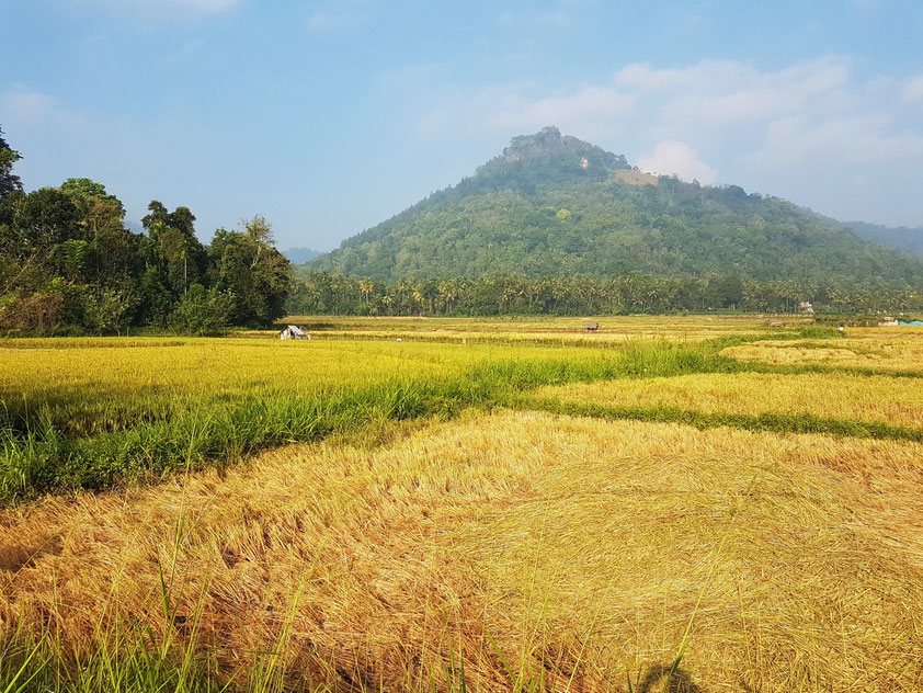 Reisfelder bei Matale
