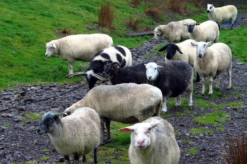 Verschiedene Schafrassen der besuchten Schäferei