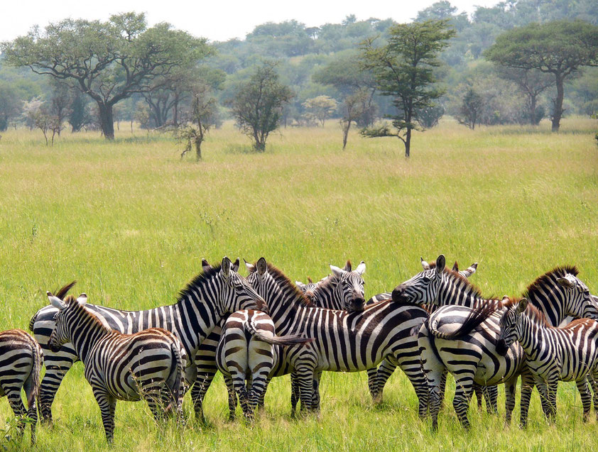 Zebras im Serengeti-Nationalpark