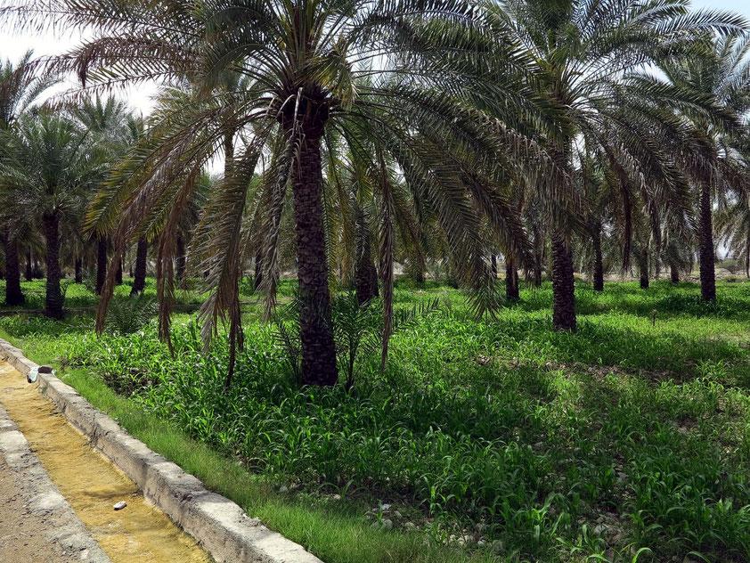 Palmenhain von Al Hazm