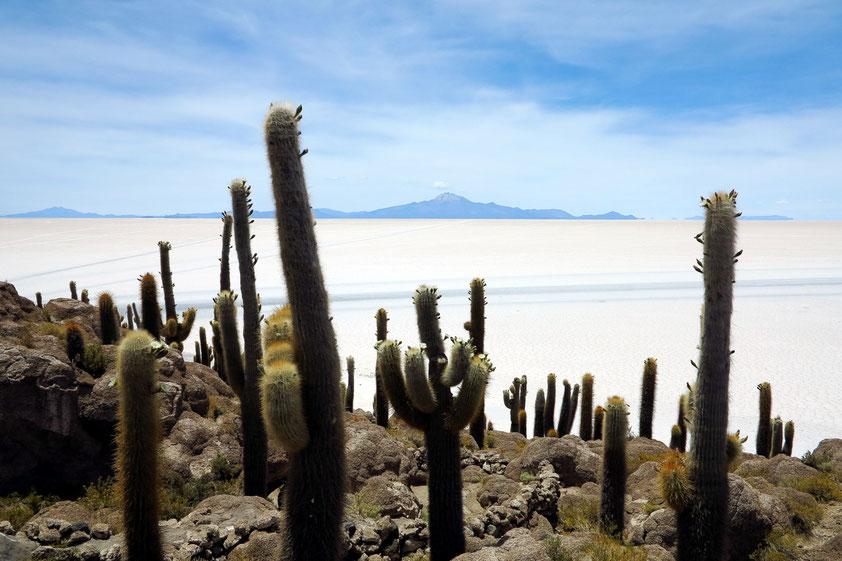 """Insel Incahuasi (quechua für """"Haus des Inka""""), etwa 80 km von Uyuni entfernt, mit meterhohen alten Säulenkakteen"""