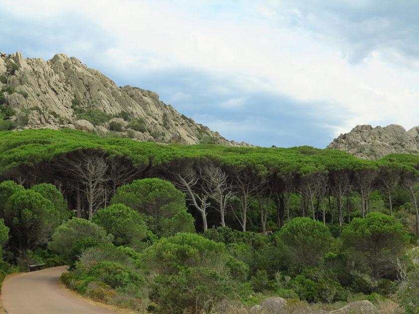 Pinienwald auf Caprera