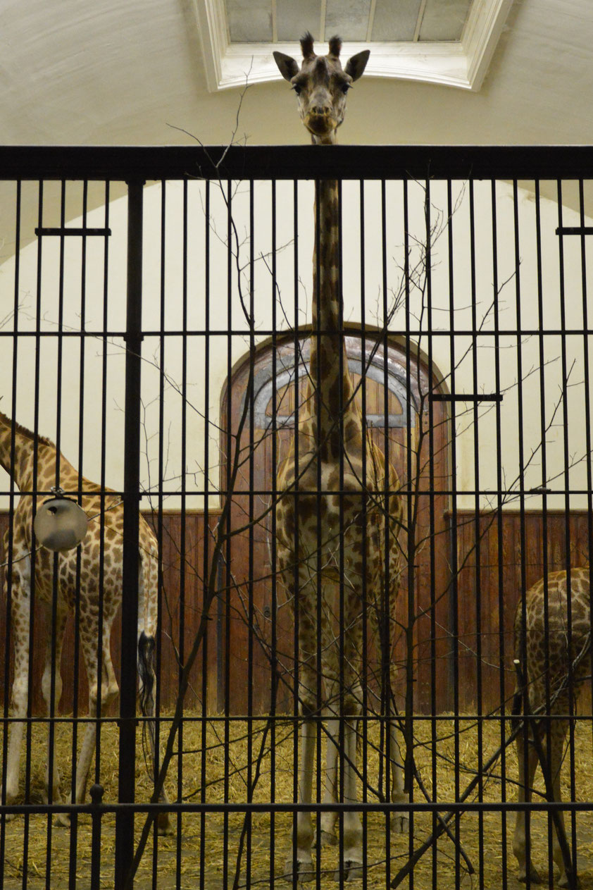 Die Giraffen haben irgendwie schon nicht soviel Platz wenn in der Nacht die Aussenanlage geschlossen ist