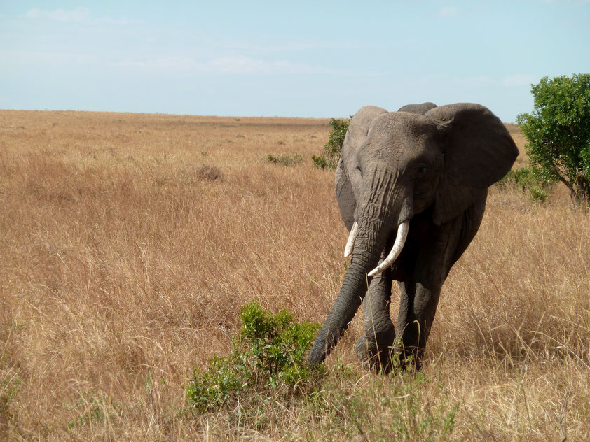 Elephant Masai Mara Kenya