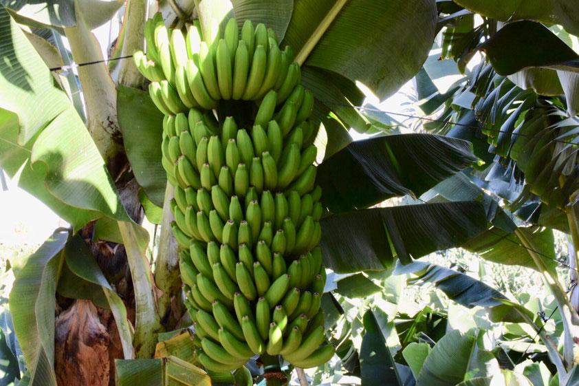 Bananenplantagen prägen das Bild auf Teneriffa