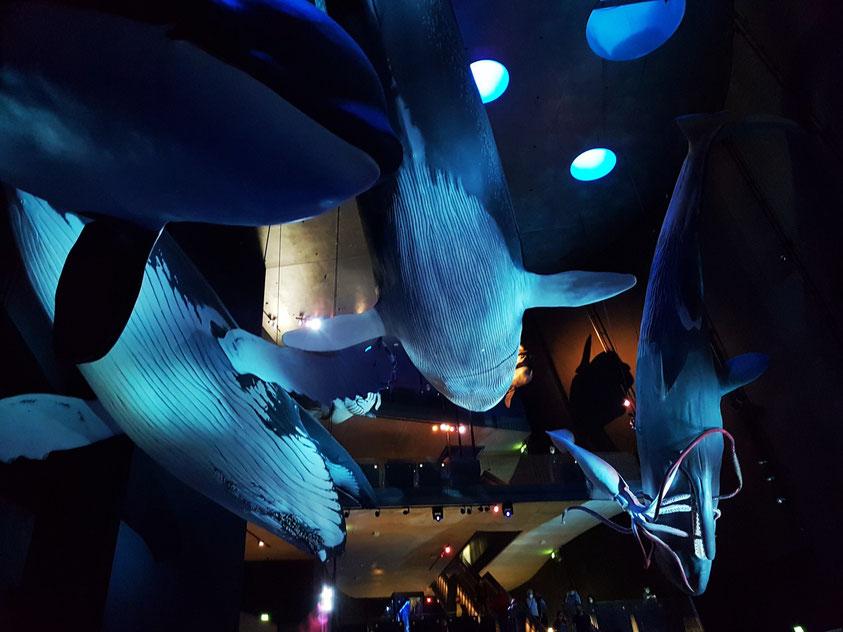 Wale und andere Riesen der Meere in ihrer originalen Größe. Die Modelle wurden aus Kunststoffen modelliert und dann lebensecht koloriert. Multimedia-Inszenierung