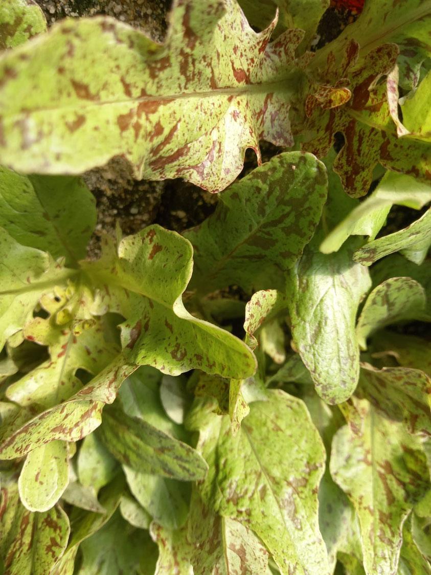 plant de salade arrowhead, une variété paysanne