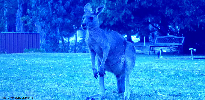 La nuit, tous les kangourous sont bleus, photo non libre de droits
