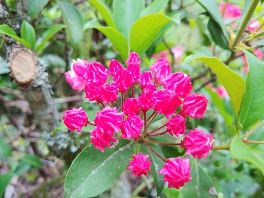 濃いピンクのもあります。私は、一番薄いピンクのカルミアが好きです。