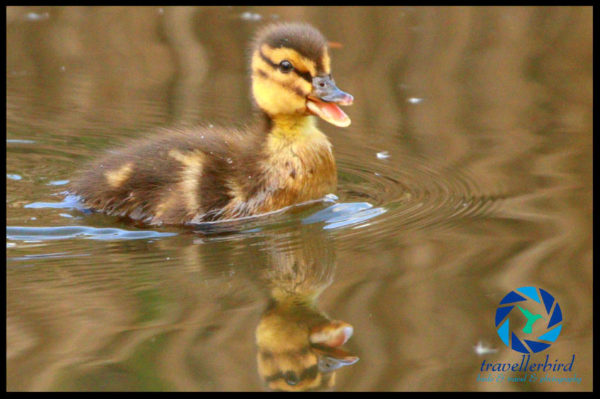 Mallard chick on a lake