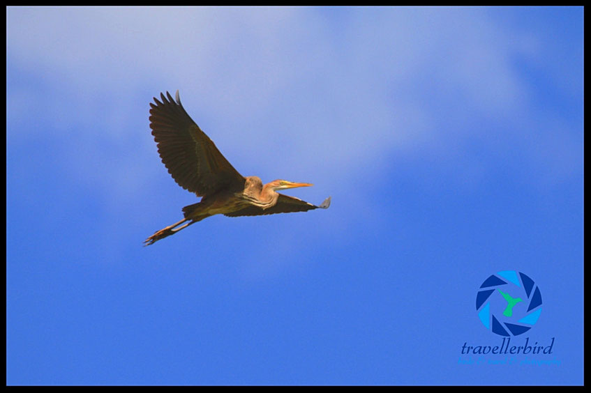 Purple Heron flying