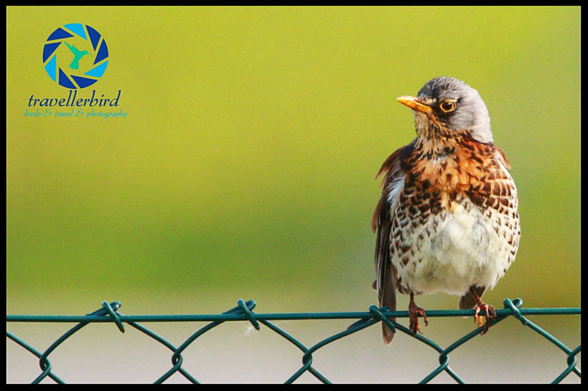 Fieldfare sitting on a fence