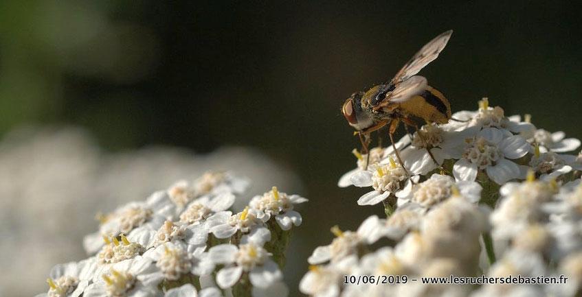 Ectophasia crassipennis sur Achillea millefolium, Cévennes