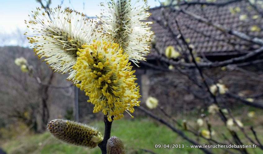 Salix caprea, Cévennes