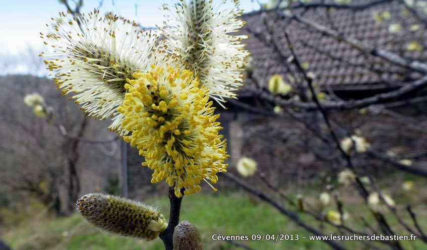 fleur du saule marsault Salix caprea en Cévennes