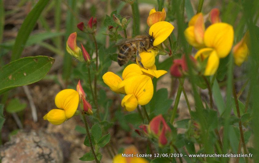 Apis mellifera et Lotus corniculatus, Lozère