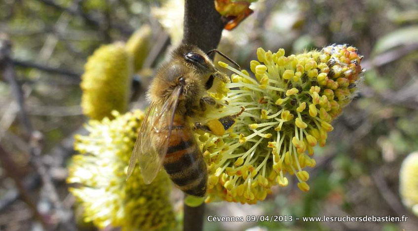 Fleur mâle de Saule marsault - Cévennes