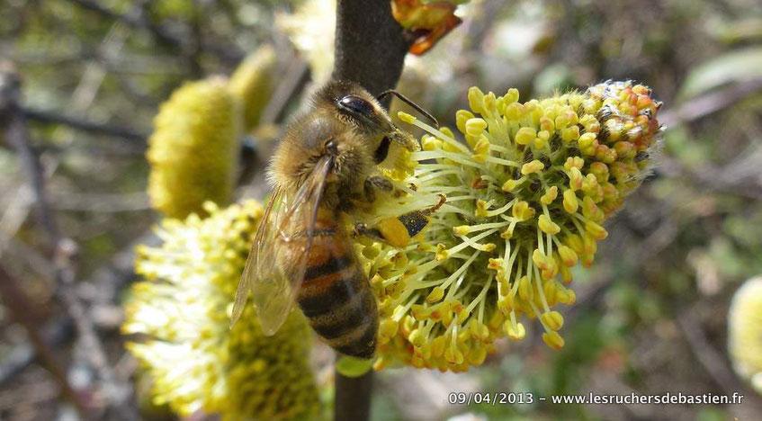 abeille butineant sur fleur mâle de Saule marsault - Cévennes