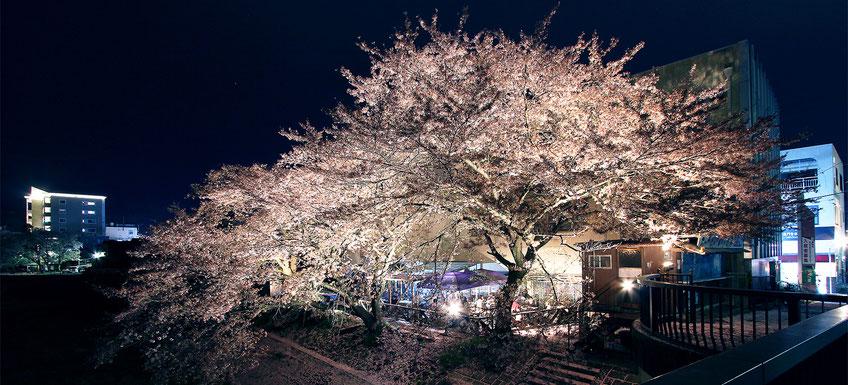 山本さん家_満開の桜の下でバーベキュー1
