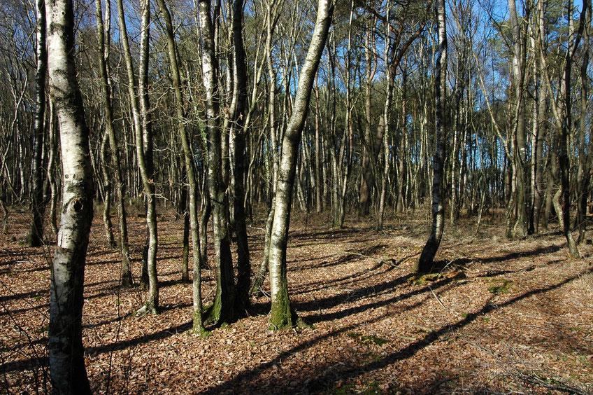 Jeune boisement humide à Bouleaux, Chênes pédonculés, Pins sylvestres et Molinie bleue situé à l'Ouest du site d'exploitation. Cliché : Loïs MOREL.