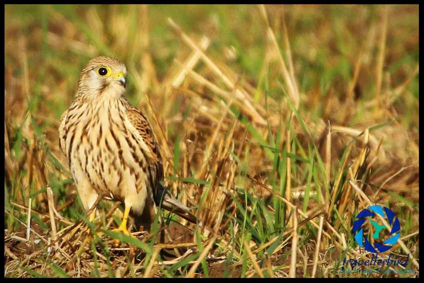 Common Kestrel on a field
