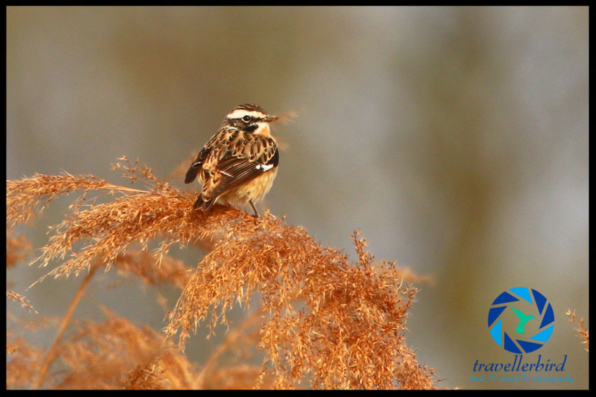 Whinchat bird on reed