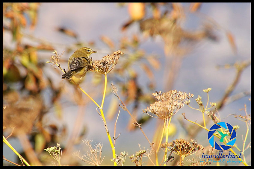 willow warbler on a flower