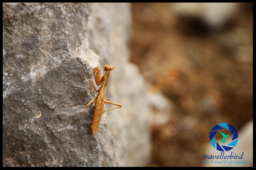 Praying mantis on a stone